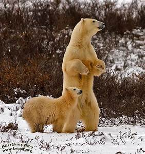 Polar Bear Standing Up | www.imgkid.com - The Image Kid ...