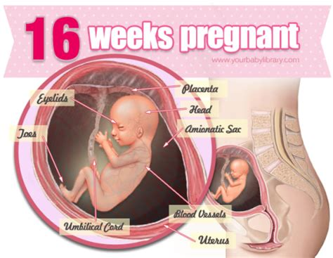 Perkembangan Janin 0 9 Bulan You Re 16 Weeks Pregnant And By Now You Re Starting To