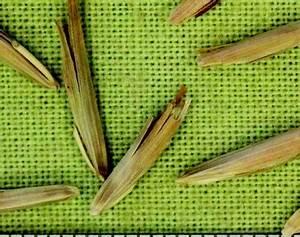 Stevenson Intermountain Seed | Bromus marginatusMountain ...