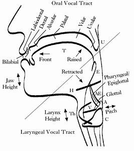Vocal Tract Diagram Labelled To Represent The Oral And The Laryngeal