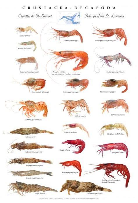 st lawrence shrimps poster crustacea decapoda