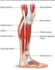 muscles of pelvis leg foot flashcards quizlet