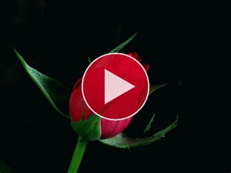 gif rosa abriendo los petalos gif