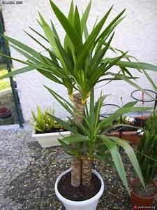 Plante Tropicale D Intérieur : yucca l phantipe plante tropicale yucca les galeries photo de plantes de gardenbreizh ~ Melissatoandfro.com Idées de Décoration