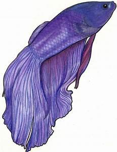 Purple Betta by MidnightTango27 on DeviantArt