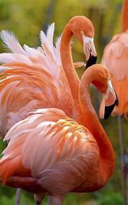 Best 25+ Flamingo bird ideas on Pinterest