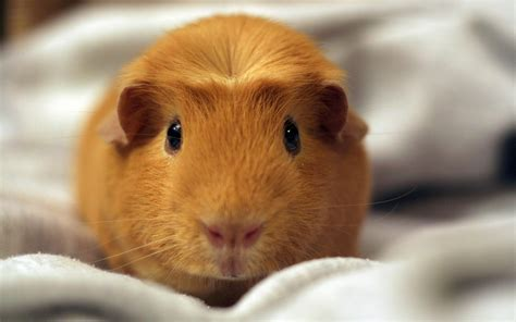 Hamster Backgrounds 40 Wallpapers Adorable Wallpapers