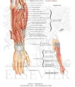 radial nerve » Radial nerve dysfunction