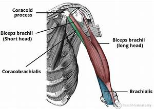 Muscles Of The Upper Arm - Biceps - Triceps