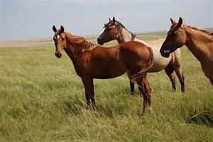 Red Dun Quarter Horses | Horses | Pinterest