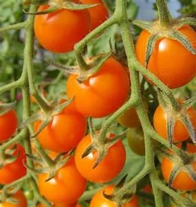 Sungold Cherry Tomato Seeds