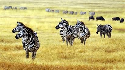 Zebra Savanna Animals