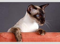 Katzen, die nicht haaren Diese Rassen gehören dazu!