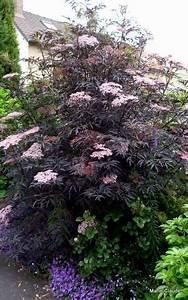 Mimosa Résistant Au Froid : les 25 meilleures id es de la cat gorie arbuste a fleur rose sur pinterest arbuste fleur rose ~ Melissatoandfro.com Idées de Décoration
