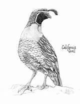 Coloring Quail California Valley Pencil Pages Bird Colorluna Quails Luna Open Poppy sketch template
