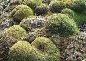 Garten Im März : fr hjahr im garten 40 acantholimon glumaceum igelpolster ~ Lizthompson.info Haus und Dekorationen