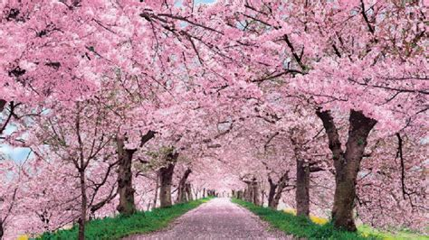 Hd Anime Scenery Wallpaper Anime Cherry Blossom Wallpaper 72 Images