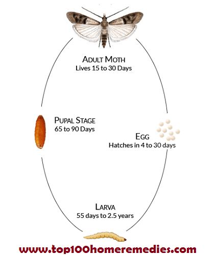 Cycle Of A Pantry Moth 10 Powerful Ways How To Get Rid Of Moths In The House