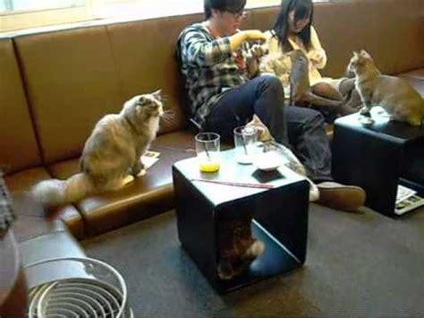 calico cat cafe  shinjuku tokyo japan youtube