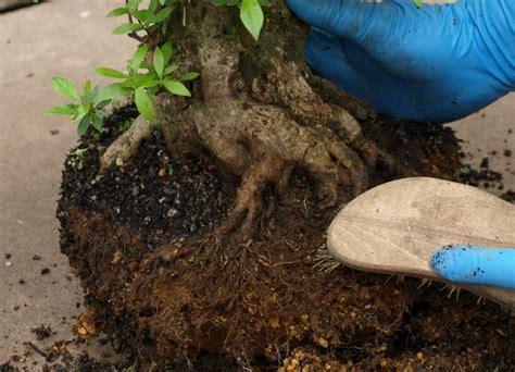 bonsai umtopfen anleitung bonsai zeitgen 246 ssisch bonsai umtopfen anleitung auf und tipps ntzlicheideen einfach bonsai