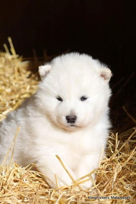518 best { SAMOYEDS } images on Pinterest   Samoyed ...
