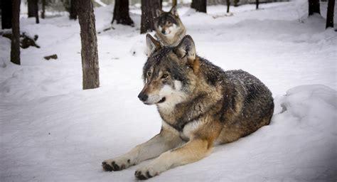 Winter Wolves Predators