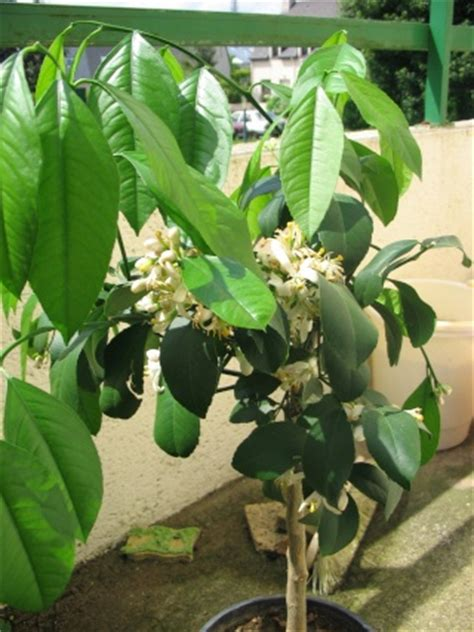 citronnier arrosage plantation entretien