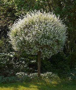 Petit Arbuste Fleuri : 10 esp ces et vari t s de saules de toutes les tailles ~ Premium-room.com Idées de Décoration