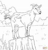 Coloring Goat Drawing Pages Goats Realistic Boer Domestic Printable Cute Adult Animals Colouring Mountain Animal Ibex Alpine Supercoloring Drawings Adults sketch template
