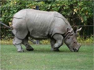 Facts About Javan Rhinoceros - Interesting & Amazing ...