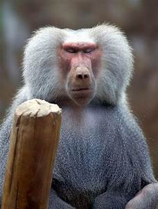 17 Best ideas about Baboon on Pinterest   Monkeys, Monkeys ...