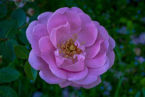 Descopera Targovistea cu mine: O floare pentru doua flori!