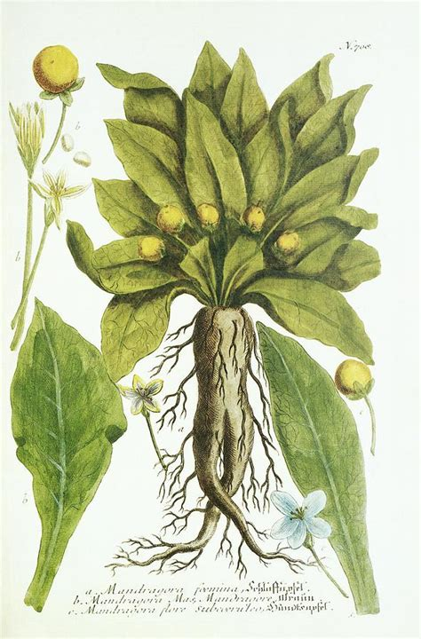 mandrake plant historical artwork photograph