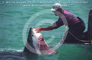 Eat Great White Sharks Eating People