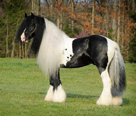 gypsy vanner horse horses facts vanners stallion probably interesting know fofinha293 divo stables didn sport tweet skyrock