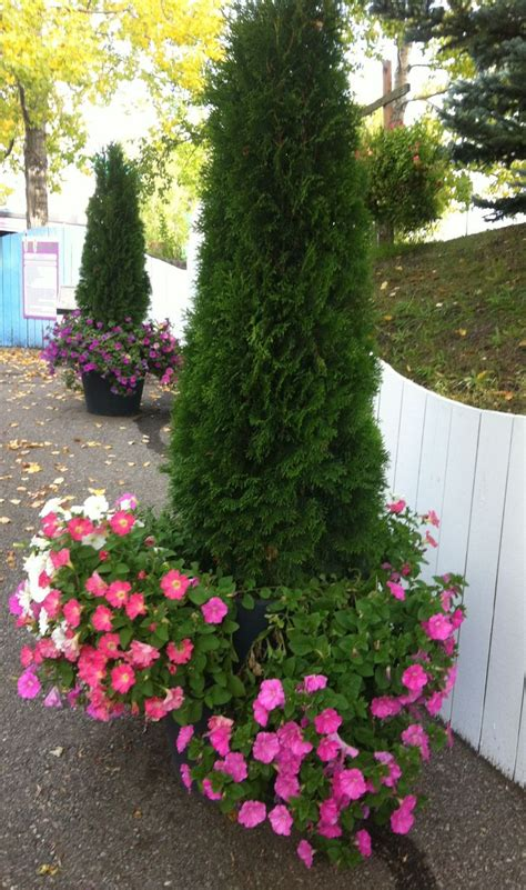 fall container with shrub evergreen and petunias outdoor