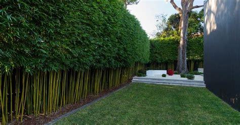 bamboo hedge bamboo pinterest bamboo hedge gardens