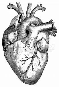 Antique Engraving Of Human Heart  Published In