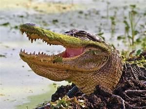 Prehistoric Crocodile Fossil