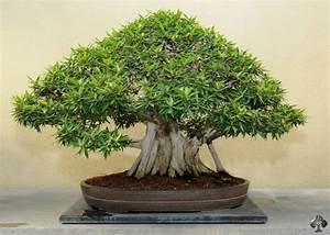 Bonsai Ficus Ginseng : care guide for the ficus bonsai tree ficus retusa ginseng bonsai empire ~ Buech-reservation.com Haus und Dekorationen