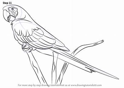 Macaw Draw Scarlet Drawing Step Parrot Parrots