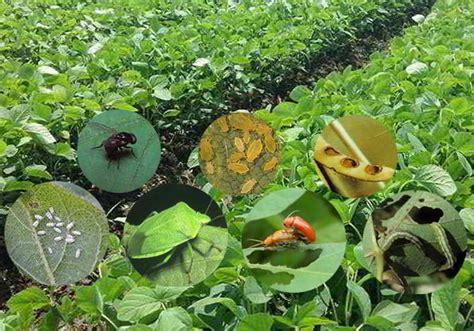 gambar hama tanaman kedelai mitalom