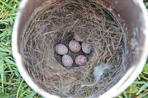chickadee nest   window