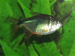 Aquarium Fish Find a fish species names starting with