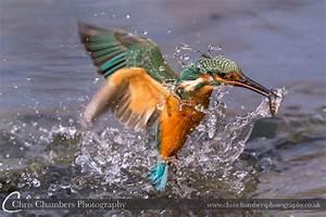 Award Winning Kingfisher Photographs - UK Wildlife Photography
