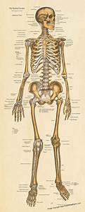 Skeletal System Anterior View - Full Size Postet