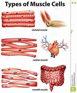 Diagramm  Das Arten Von Muskelzellen Zeigt Vektor