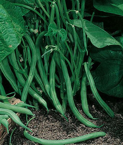 Green Bean Varieties, Types of Green Beans