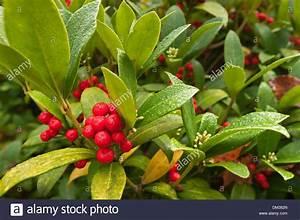 Busch Mit Roten Beeren : ein winter wunderland immergr ner strauch mit gl nzenden bl ttern und roten beeren die dunklen ~ Markanthonyermac.com Haus und Dekorationen