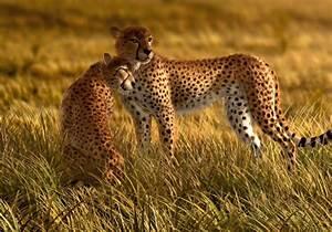 Fototapete Tapete Natur Wildniss Tiere Gepard Safari Foto